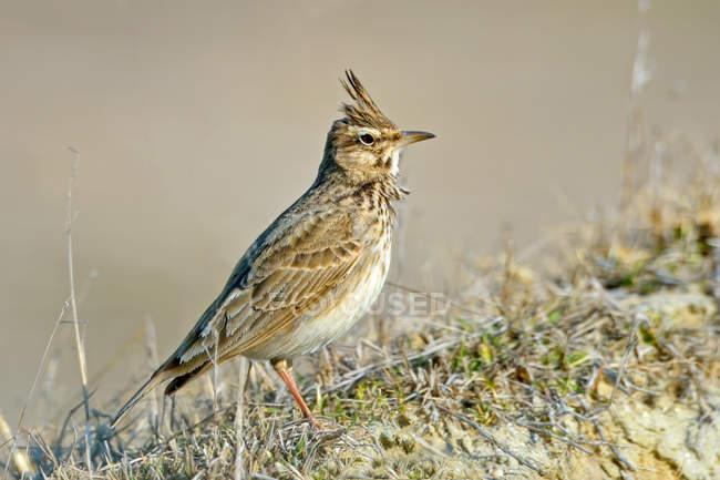 Жаворонок птица, птица фотография, хохлатый жаворонок на открытом воздухе — стоковое фото