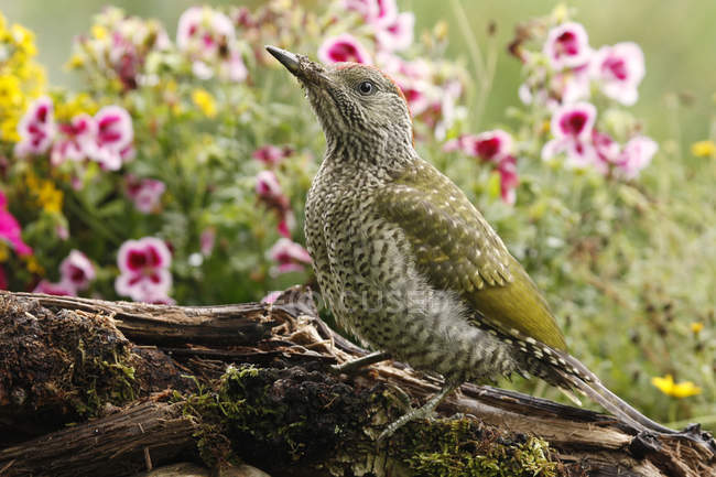 Green woodpecker in garden with flowers — Stock Photo