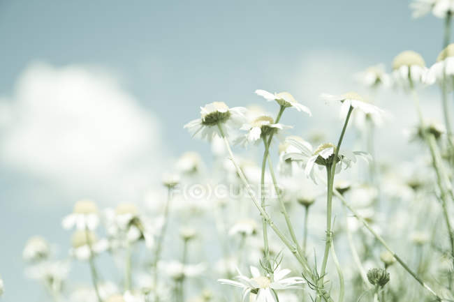 White field chamomile flowers — Stock Photo