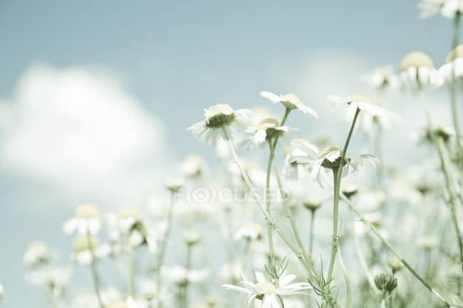 Білий польові квіти ромашки — стокове фото