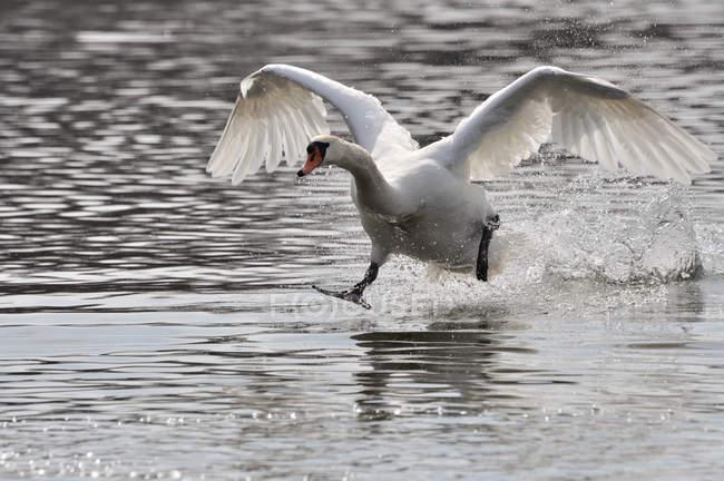 Лебедь-шипун посадки на поверхность воды. — стоковое фото