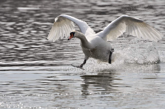 Mute swan landing on water surface — Stock Photo