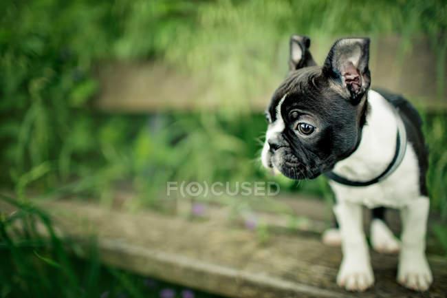 Boston Terrier cachorro ao ar livre — Fotografia de Stock