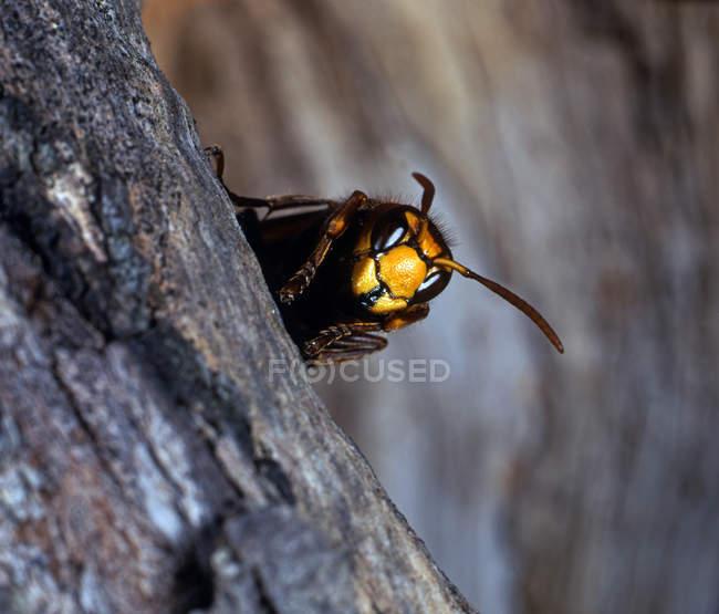 Insectes, coup de macro du frelon sur l'écorce de bois — Photo de stock