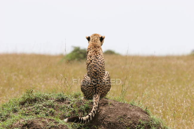 Rear view of cheetah siting on rock in African grassland — Stock Photo