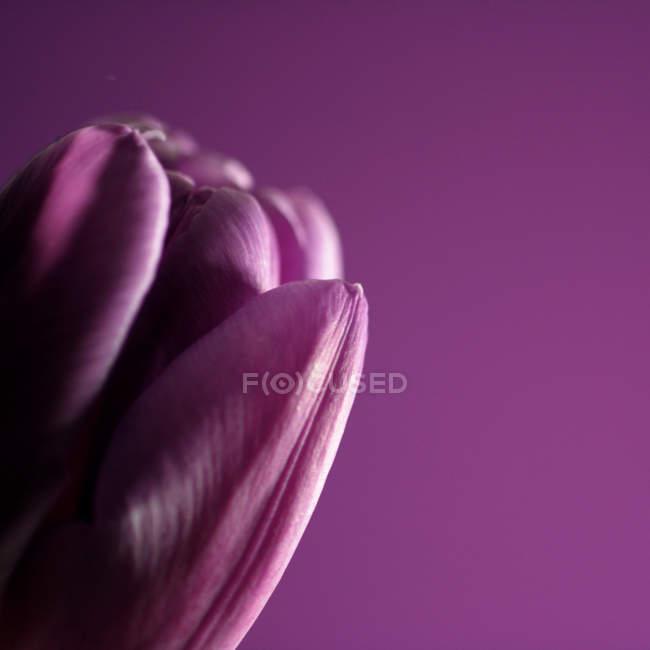 Крупним планом, частковим видом purple tulip пелюстки фіолетовий тлі — стокове фото