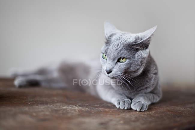 Gato deitado na superfície de madeira e relaxante — Fotografia de Stock