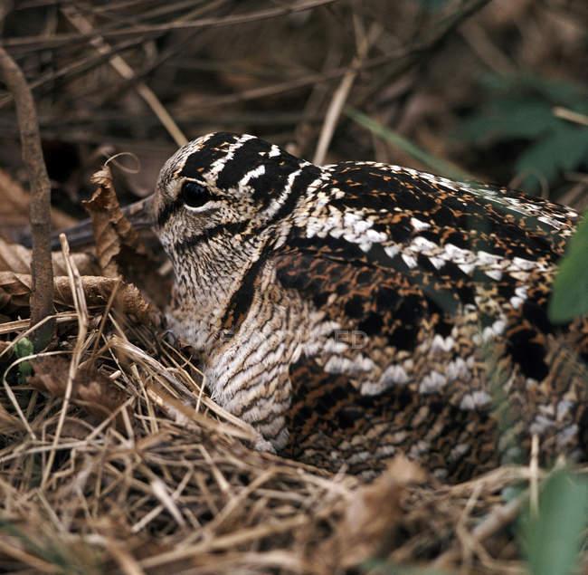 Snipe bird, woodcock sitting in nest — Stock Photo
