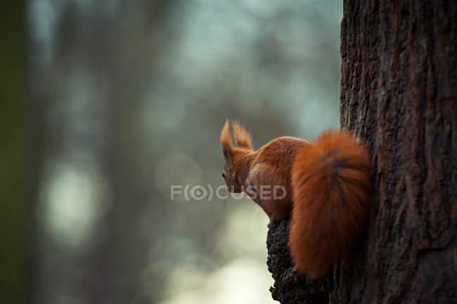 Back view of red squirrel with fluffy tail climbing on tree trunk — Stock Photo