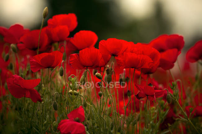 Bright red poppy field, red flowers growing in meadow — Stock Photo