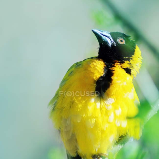 Желтый пересмешника, pirol птица — стоковое фото