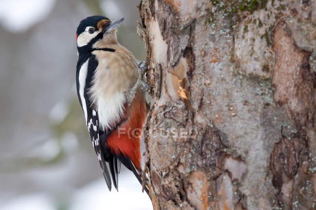 Full length of woodpecker bird on tree — Stock Photo