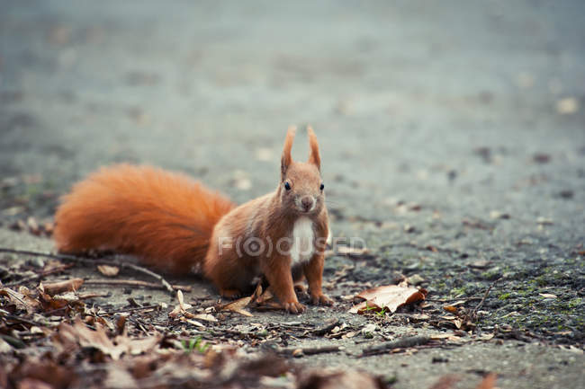Red squirrel on ground with autumn leaves — Stock Photo