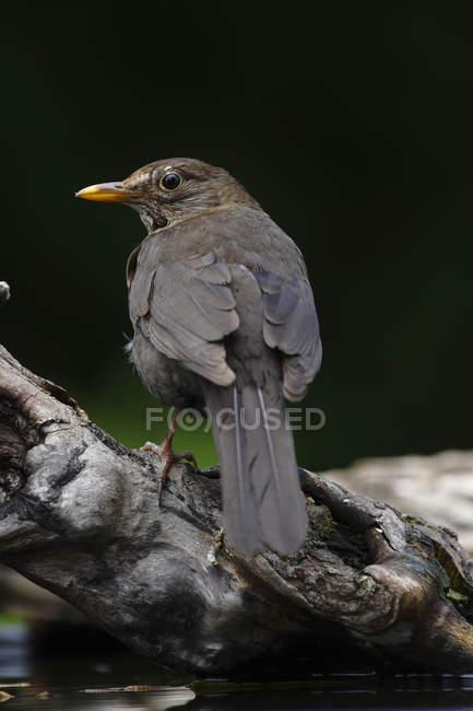 Blackbird turdus merula outdoors on tree trunk — Stock Photo