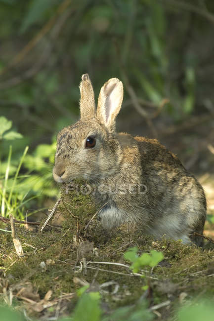 Closeup of feeding of moss hare in woods — Stock Photo