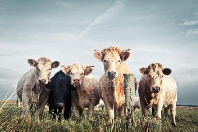 Rebaño de vacas en pasto de campo - foto de stock