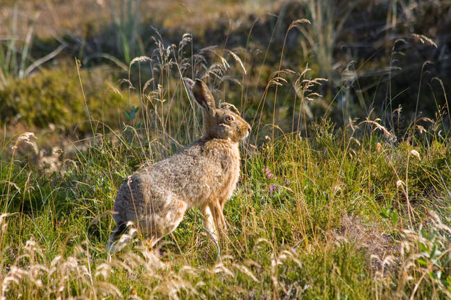 Вид сбоку Русак в поле зеленой травы — стоковое фото