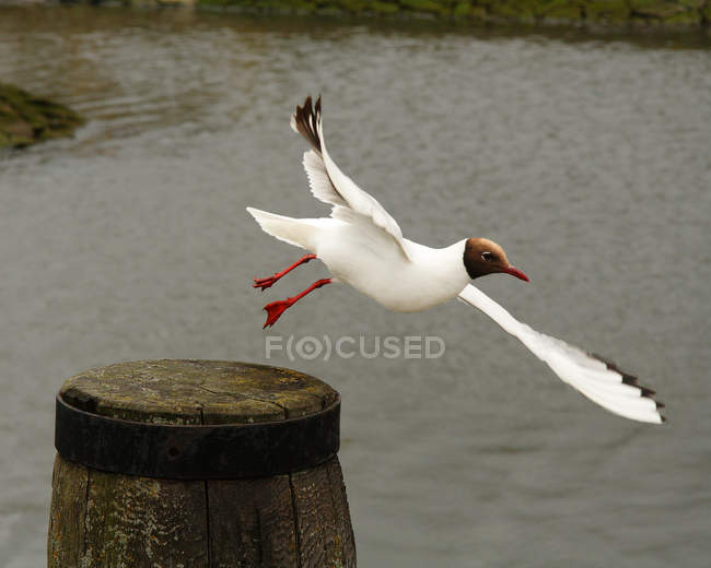 Flying gull bird with wings — Stock Photo