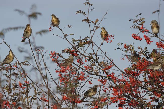 Стая птиц на рябина — стоковое фото