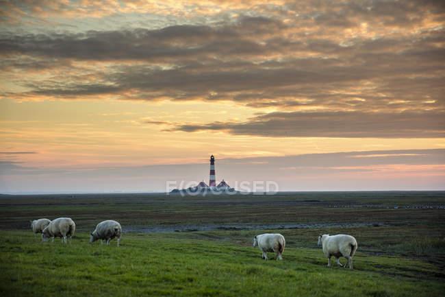 Prado verde com ovelhas e farol no horizonte com pôr do sol, farol de Westerheversand — Fotografia de Stock
