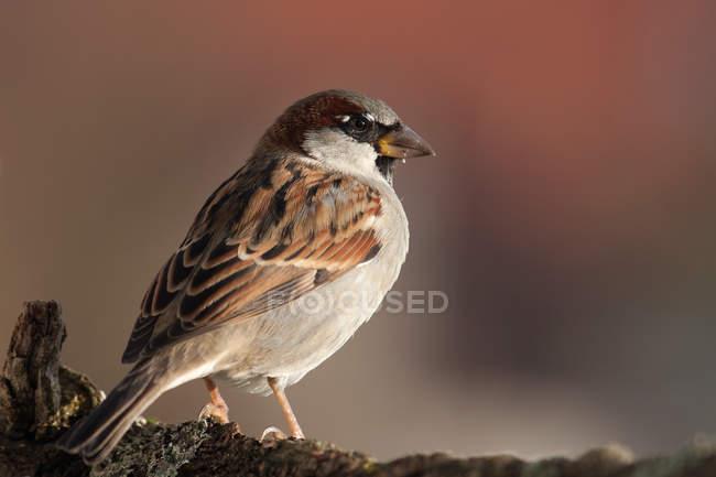 Воробей, домовый воробей птица фотографии — стоковое фото