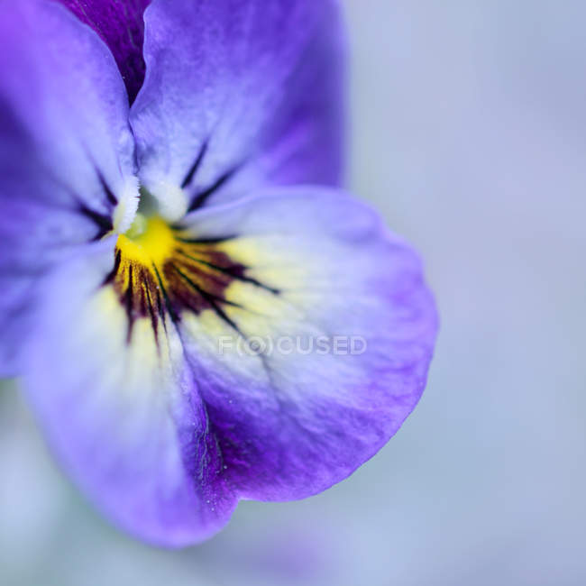 Violet flower petals, pansy flower — Stock Photo
