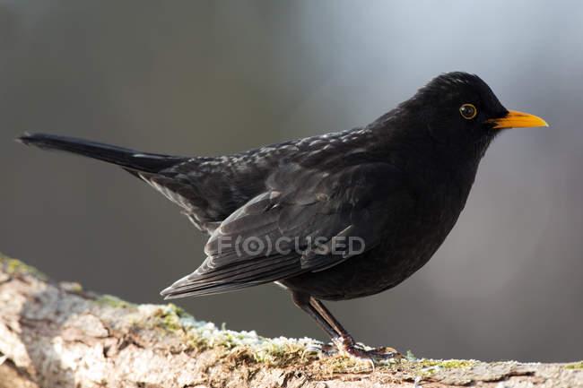 Blackbird turdus merula outdoors — Stock Photo