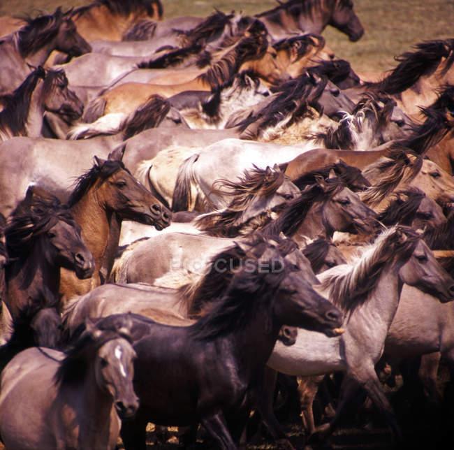 Стадо лошадей, диких лошадей, диких лошадей — стоковое фото