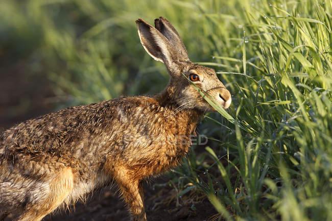 Один заяц луг скрывается зеленая трава — стоковое фото