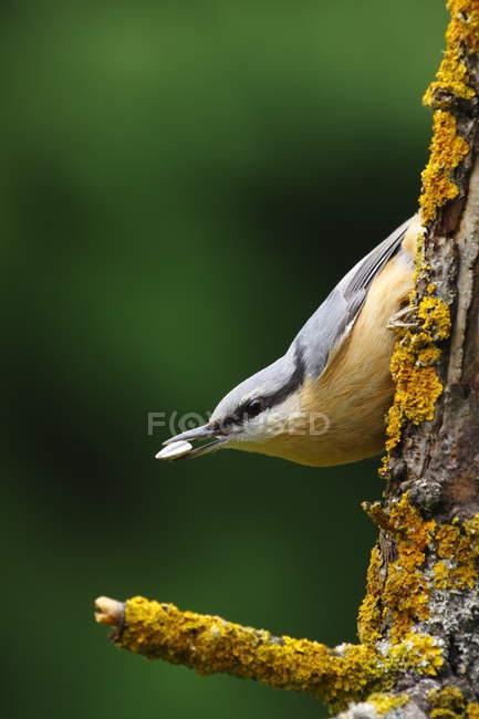 Sittelle oiseau sur tronc d'arbre, oiseau avec graine en bec — Photo de stock