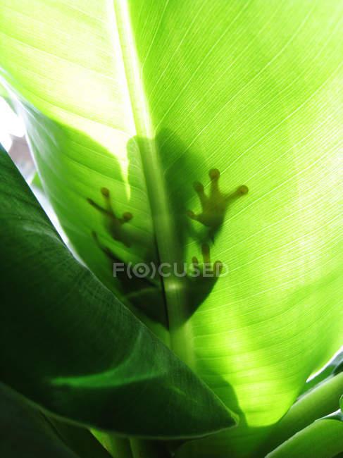 Tiro de ángulo bajo de hoja verde transparente con rana - foto de stock