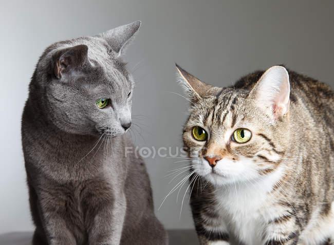 Expectativa e curiosidade de dois gatos — Fotografia de Stock