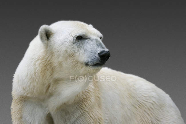 White polar bear looking away — Stock Photo