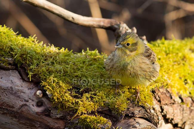 Oiseau jaunâtre assis sur l'écorce d'un arbre avec de la mousse — Photo de stock