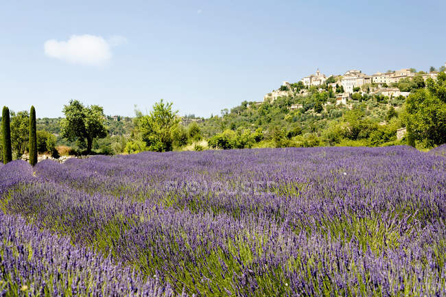 Aromatic lavender field, purple violet meadow flowers — Stock Photo