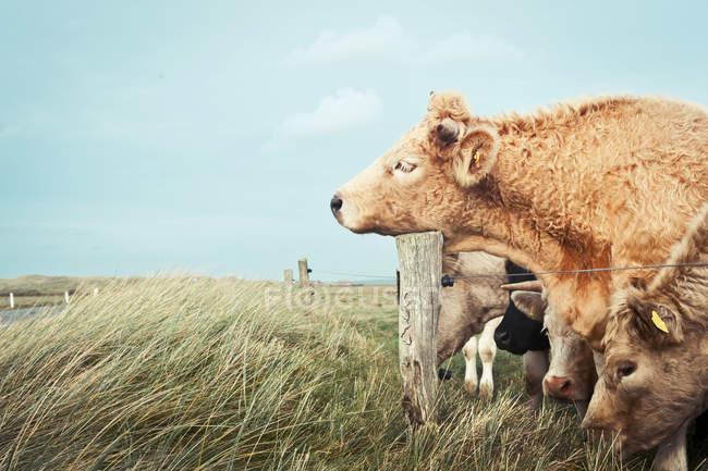 Rebaño de vacas en hierba de campo con cerca - foto de stock