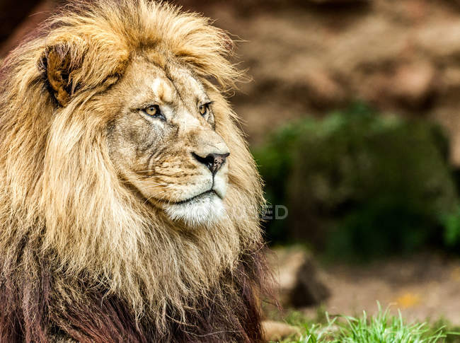 Lion animal portrait in nature — Stock Photo