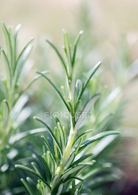 Growing green rosemary plant, fresh leaves — Stock Photo