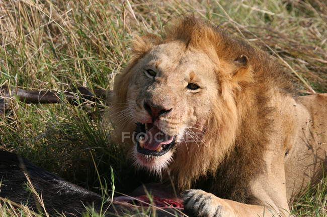 Dangerous angry lion with meat on grass, lion roars — Stock Photo