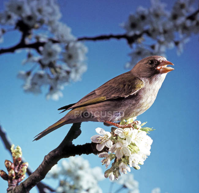 Mockingbird, green finch bird on spring tree with flowers — Stock Photo
