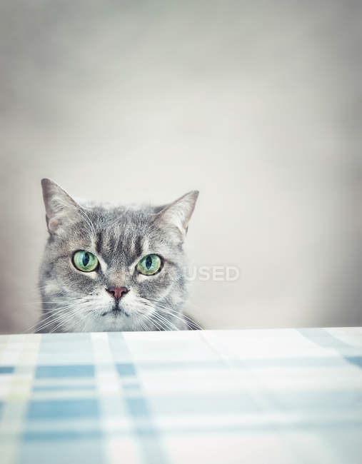 Grey cat at table watching — Stock Photo