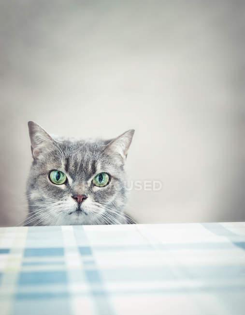 Gatto grigio a tavola a guardare — Foto stock