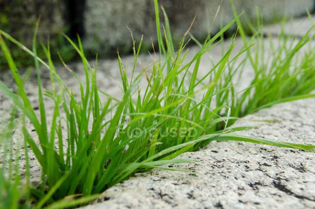 Croissant herbe verte creux pierre fente — Photo de stock