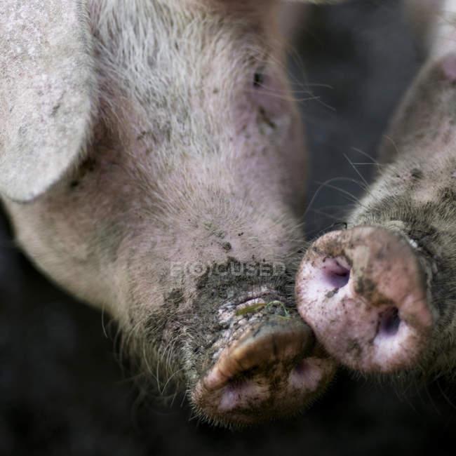Тваринництво поросят, крупним планом «морд» свиней — стокове фото