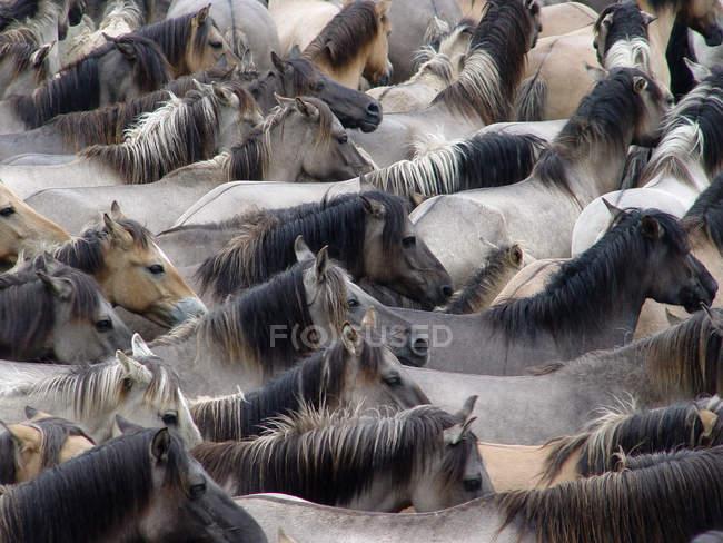 Manada de cavalos selvagens, imagem do quadro completo — Fotografia de Stock