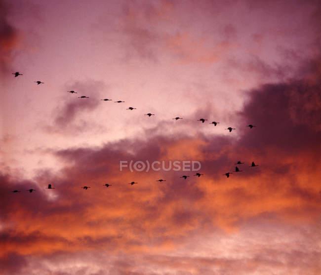 Tramonto rosso e comune gru uccelli di volo — Foto stock