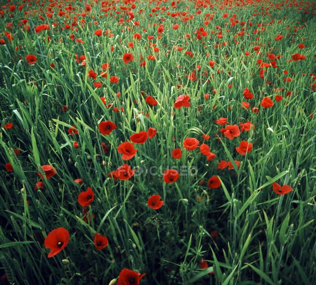 Яскраві червоні макового поля, червоні квіти ростуть в лузі зеленою травою — стокове фото