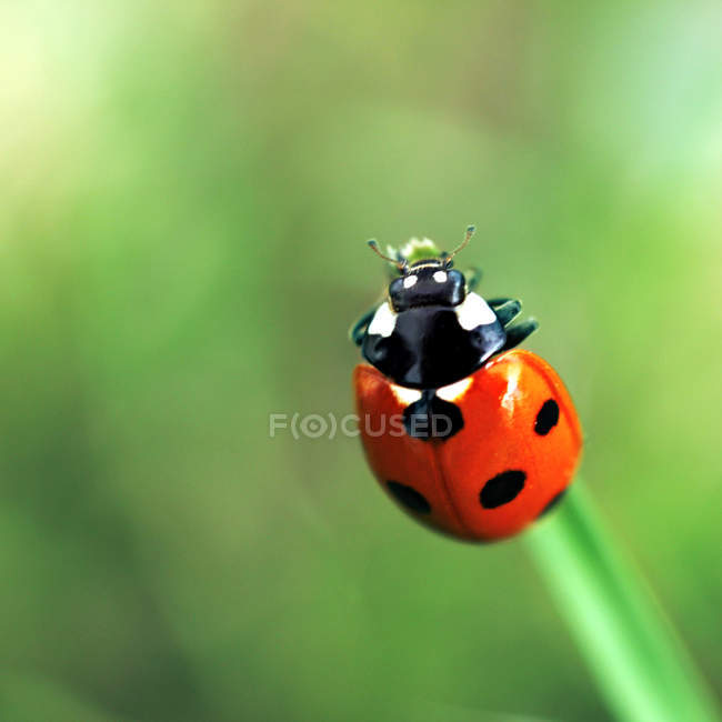 Rote Lady Beetle auf dem grünen Rasen — Stockfoto