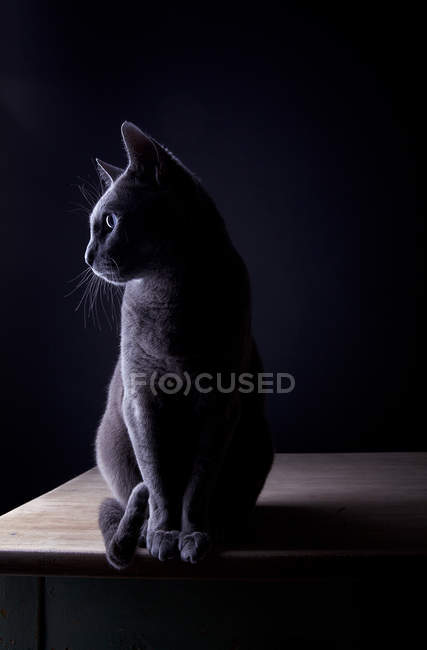 Russian blue cat sitting in dark room on wooden table and looking away — Stock Photo