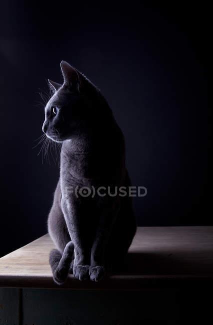 Russo azul gato sentado em uma sala escura na mesa de madeira e desviar o olhar — Fotografia de Stock